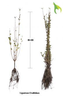 Haagliguster Blote wortel 80-100 cm Blote wortel