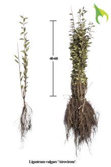 Wintergroene Liguster Atrovirens Blote wortel 40-60 cm Blote wortel