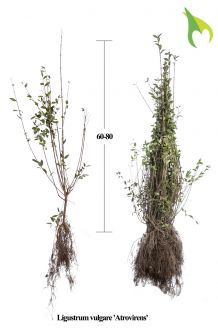 Wintergroene Liguster Atrovirens Blote wortel 60-80 cm Blote wortel