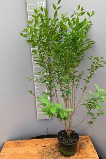 Haagliguster Pot 100-125 cm Pot