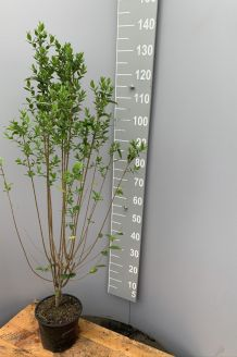 Haagliguster Pot 125-150 cm Pot