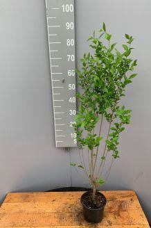Haagliguster Pot 60-80 cm Pot