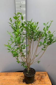 Haagliguster Pot 80-100 cm Pot