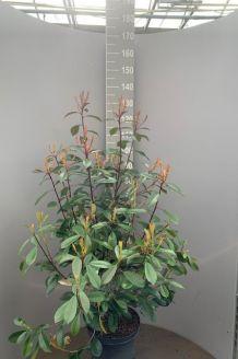 Glansmispel Pot 100-125 cm Pot
