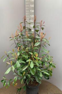 Glansmispel Pot 80-100 cm Pot