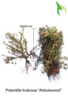 Heesterganzerik 'Abbotswood' Blote wortel 30-50 cm Blote wortel