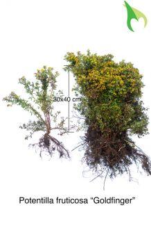 Heesterganzerik 'Goldfinger' Blote wortel 30-50 cm Blote wortel