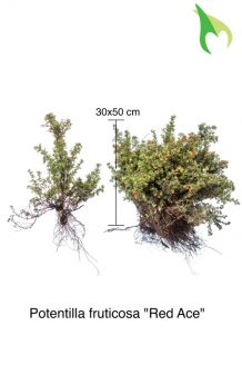 Heesterganzerik 'Red Ace' Blote wortel 30-50 cm Blote wortel