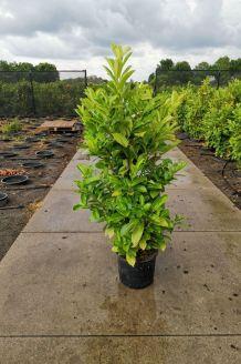 Laurier 'Rotundifolia' Pot 125-150 cm Pot