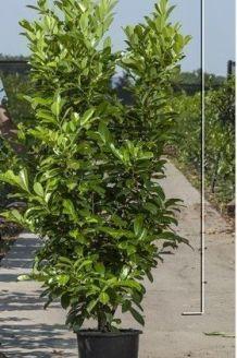 Laurier 'Rotundifolia' Pot 175-200 cm Pot