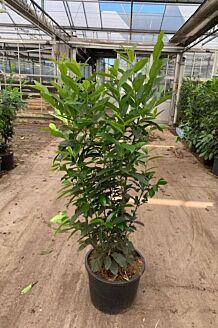 Laurier 'Genolia' Pot 125-150 cm Pot
