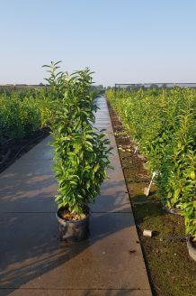 Laurier 'Genolia' Pot 150-175 cm Pot