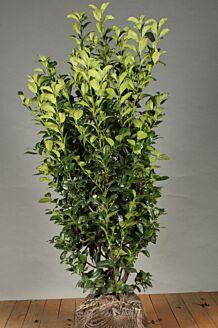 Laurier 'Ani' Kluit 125-150 cm Extra kwaliteit Kluit