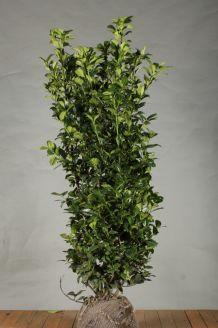 Laurier 'Ani' Kluit 150-175 cm Extra kwaliteit Kluit