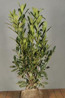 Laurier 'Caucasica' Kluit 100-125 cm Extra kwaliteit Kluit