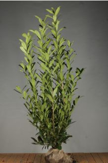 Laurier 'Caucasica' Kluit 175-200 cm Kluit