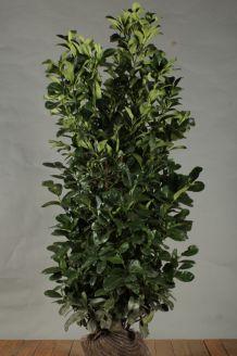 Laurier 'Etna' Kluit 150-175 cm Extra kwaliteit Kluit