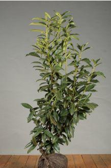 Laurier 'Genolia' Kluit 100-125 cm Kluit