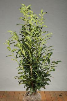 Laurier 'Genolia' Kluit 125-150 cm Extra kwaliteit Kluit