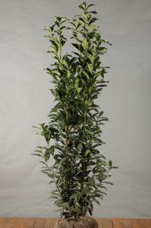 Laurier 'Genolia' Kluit 150-175 cm Kluit