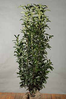 Laurier 'Genolia' Kluit 175-200 cm Extra kwaliteit Kluit