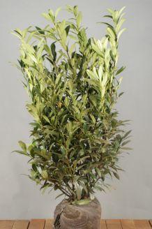 Laurier 'Herbergii' Kluit 100-125 cm Extra kwaliteit Kluit