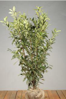 Laurier 'Caucasica' Kluit 125-150 cm Extra kwaliteit Kluit