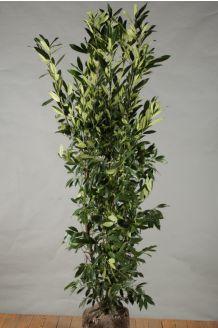 Laurier 'Herbergii' Kluit 150-175 cm Kluit