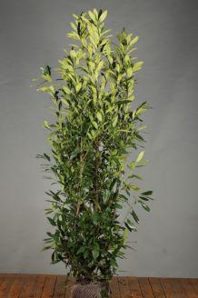 Laurier 'Herbergii' Kluit 175-200 cm Kluit