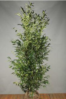 Laurier 'Herbergii' Kluit 200-225 cm Extra kwaliteit Kluit