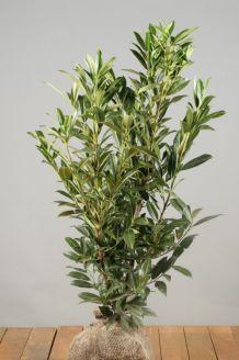 Laurier 'Herbergii' Kluit 80-100 cm Kluit
