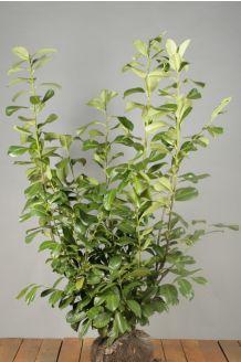 Laurier 'Rotundifolia' Kluit 100-125 cm Extra kwaliteit Kluit