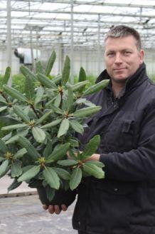 Rhododendron Roseum Pot 40-50 cm Pot