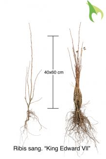 Ribes 'King Edward VII' Blote wortel 40-60 cm Blote wortel