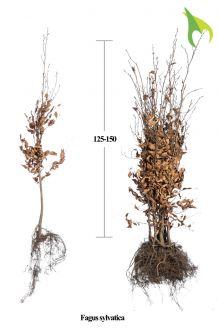 Groene beuk Blote wortel 125-150 cm Extra kwaliteit Blote wortel