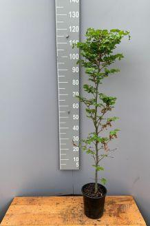 Groene beuk Pot 100-125 cm Pot
