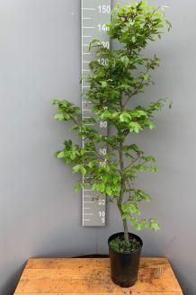 Groene beuk Pot 125-150 cm Pot