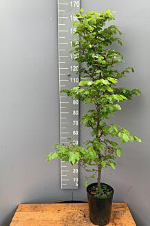 Groene beuk Pot 150-175 cm Pot