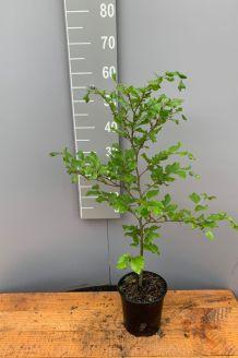 Groene beuk pot 40-60 cm Pot