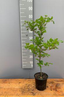 Groene beuk Pot 60-80 cm Pot