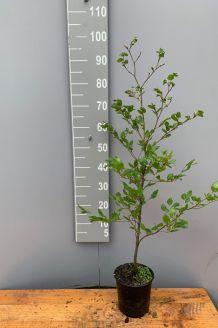 Groene beuk Pot 80-100 cm Pot