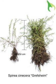 Spierstruik 'Grefsheim' Blote wortel 40-50 cm Blote wortel
