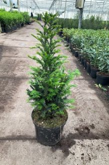 Taxus Baccata Pot 50-60 cm Pot