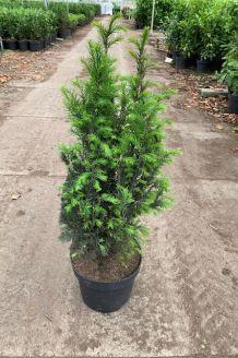 Taxus Baccata (60-80 cm) Pot