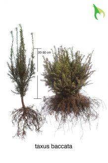 Taxus Baccata Blote wortel 20-30 cm Blote wortel