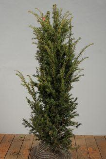 Taxus Baccata Kluit 125-150 cm Extra kwaliteit Kluit