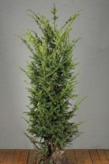 Taxus Baccata Kluit 150-175 cm Extra kwaliteit Kluit