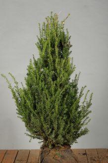 Taxus Baccata Kluiit 60-80 cm Extra kwaliteit Kluit