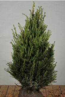 Taxus Baccata (80-100 cm) Extra kwaliteit Kluit