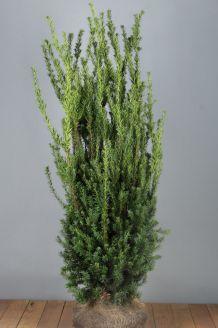 Taxus media 'Hilli' Kluit 125-150 cm Extra kwaliteit Kluit